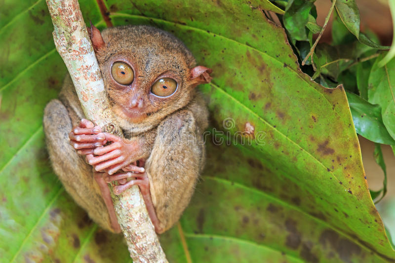 Tarsier in Cebu, Philippines- Tarsius Syrichta stock photos