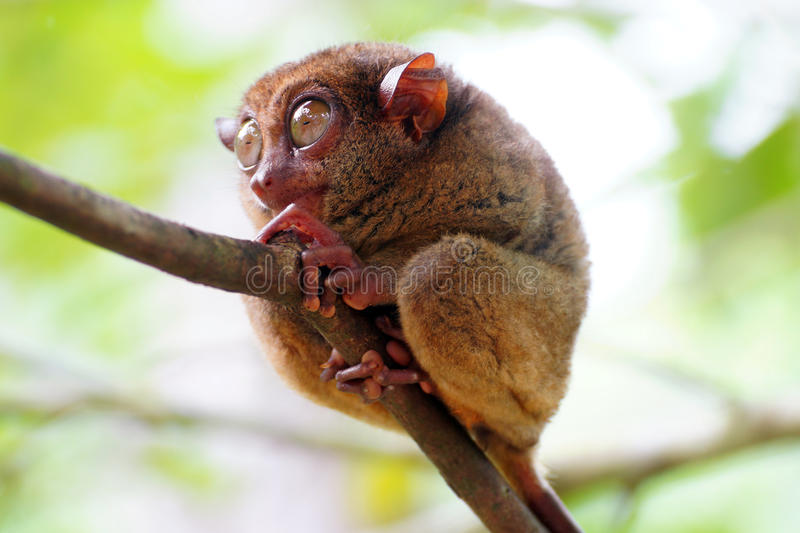 Download Tarsier closeup stock photo. Image of monkey, stare, asian - 28651558