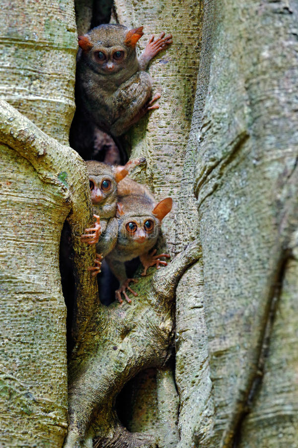 Tarsier-Familie auf dem großen Baum Spektral-Tarsier, Tarsiusspektrum, verstecktes Porträt des seltenen nächtlichen Tieres, im Gr lizenzfreie stockbilder