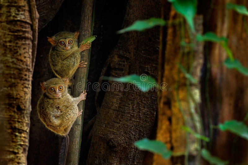 Tarsier family on the big tree. Spectral Tarsier, Tarsius spectrum, hidden portrait of rare nocturnal animal, in large ficus. Tree, Sulawesi, Indonesia royalty free stock photography