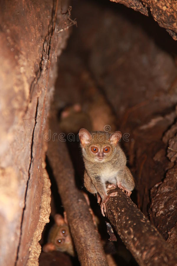 Tarsier family in their home tree stock photo