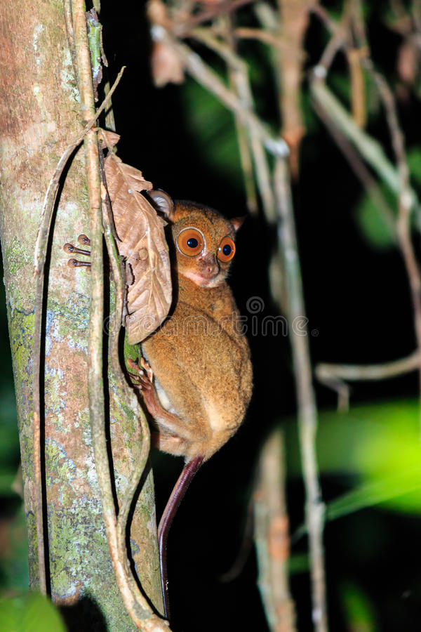 Tarsier in the jungle. A rare nocturnal Tarsier hangs from a jungle tree at night royalty free stock images