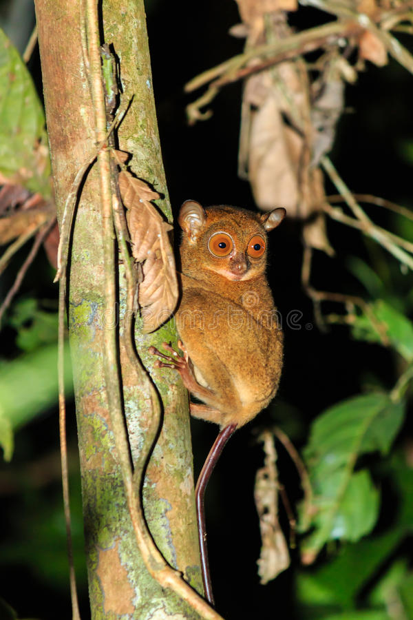 Tarsier in the jungle. A rare nocturnal Tarsier hangs from a jungle tree at night royalty free stock photos