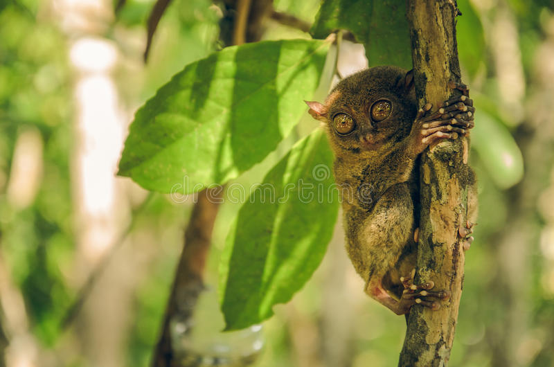 Tarsier monkey in Cebu, Philippines- Tarsius Syrichta stock photo