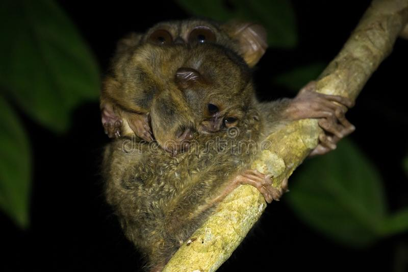 Tarsier mother and baby in Tangkoko National Park, North Sulawesi, Indonesia. A family group of Tarsiers Tarsius tarsier nesting in a tree in Tangkoko National royalty free stock photography