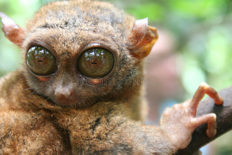 Tarsier philippin photo stock