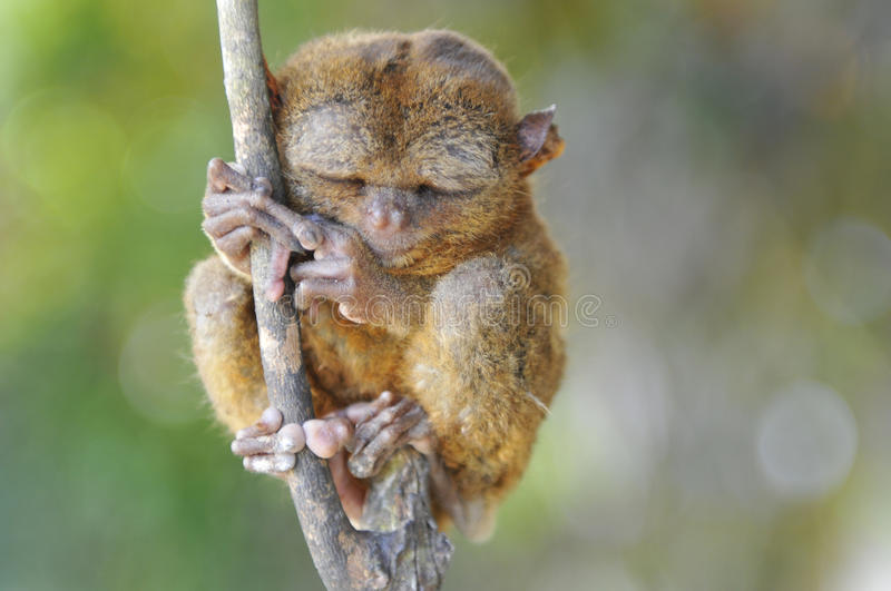 Tarsier royalty free stock image
