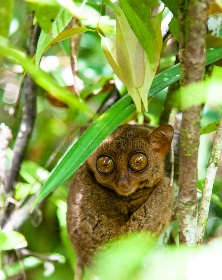 Tarsier in the rainforest royalty free stock images