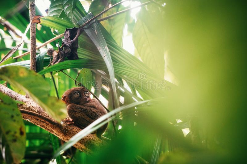 Tarsier sitting on branch in jungle, Bohol island, Philippines royalty free stock photos