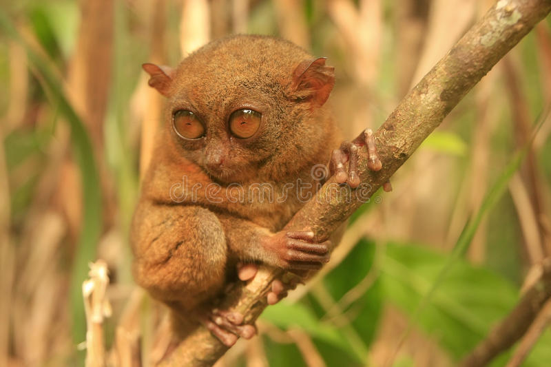 Tarsier sitting on a tree, Bohol island, Philippines. Southeast Asia royalty free stock photo