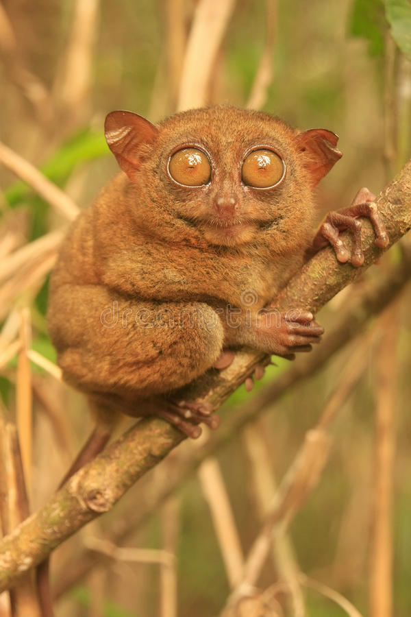 Tarsier sitting on a tree, Bohol island, Philippines. Southeast Asia stock image