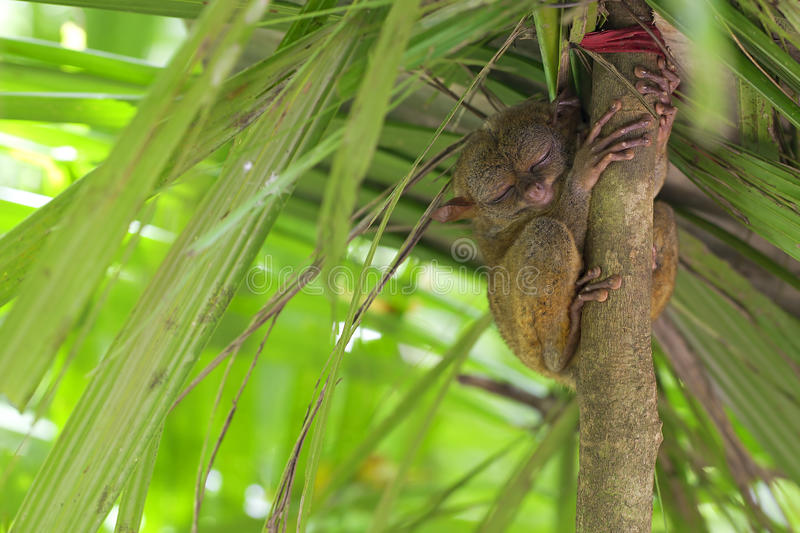 Tarsier. Sitting in a tree in Bohol, Philippines stock photo