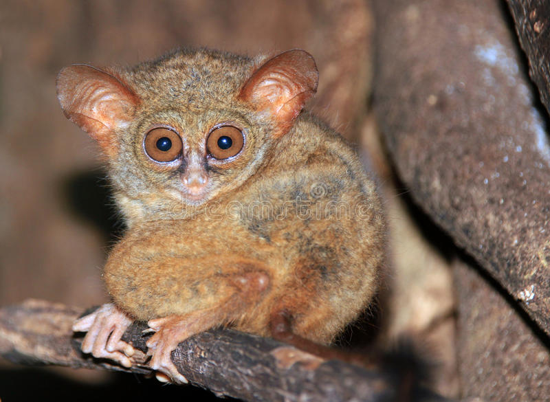Tarsier spectral photos stock