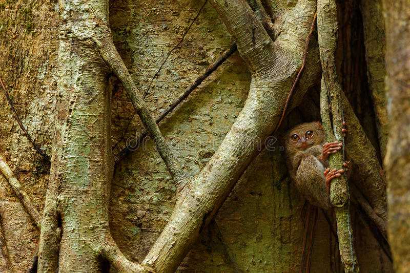 Tarsier spectral, spectre de Tarsius, portrait d'animal nocturne rare, dans l'habitat de nature, grand arbre de ficus, ressortiss photo stock