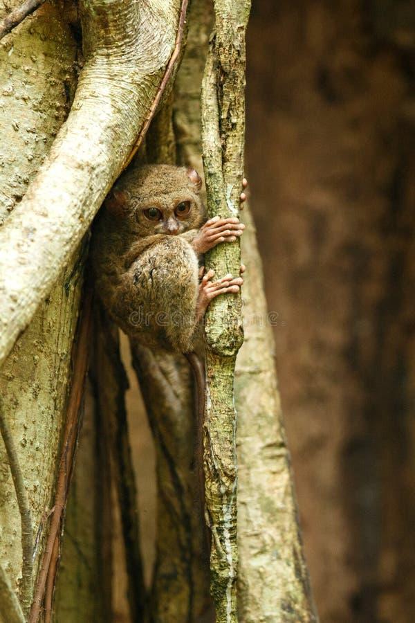 Tarsier spectral, spectre de Tarsius, portrait des mammifères nocturnes endémiques rares, petit primat mignon dans le grand arb images libres de droits