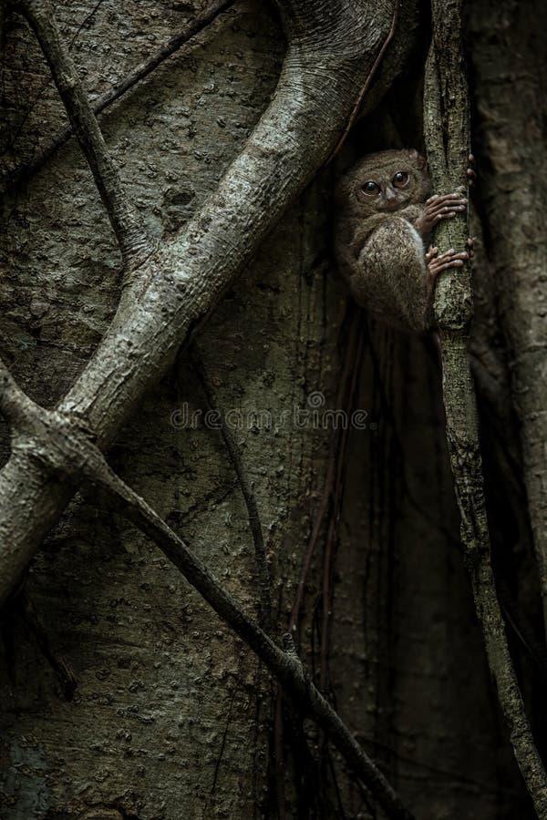 Tarsier spectral, spectre de Tarsius, portrait des mammifères nocturnes endémiques rares, petit primat mignon dans le grand arb photos libres de droits