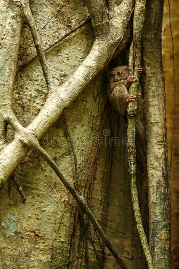 Tarsier spectral, spectre de Tarsius, portrait des mammifères nocturnes endémiques rares, petit primat mignon dans le grand arb photographie stock