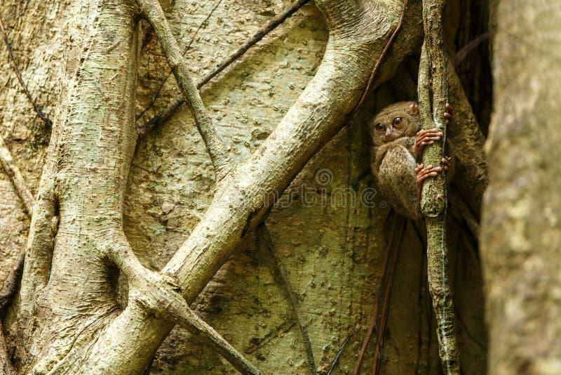 Tarsier spectral, spectre de Tarsius, portrait des mammifères nocturnes endémiques rares, petit primat mignon dans le grand arb photographie stock libre de droits