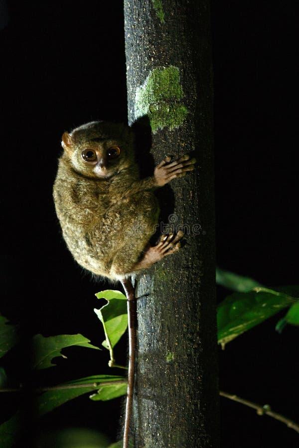 Tarsier spectral, spectre de Tarsius, portrait des mammifères nocturnes endémiques rares, petit primat mignon dans le grand arb images stock
