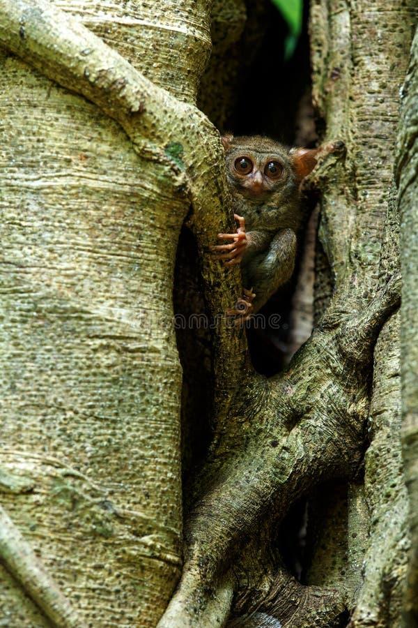 Tarsier spectral, spectre de Tarsius, portrait des mammif?res nocturnes end?miques rares, petit primat mignon dans le grand arbre photo libre de droits