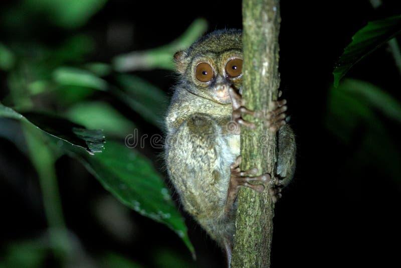 Tarsier spectral, spectre de Tarsius, portrait des mammif?res nocturnes end?miques rares, petit primat mignon dans le grand arbre image libre de droits