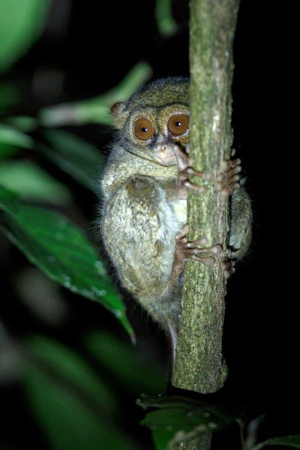 Tarsier spectral, spectre de Tarsius, portrait des mammif?res nocturnes end?miques rares, petit primat mignon dans le grand arbre images stock