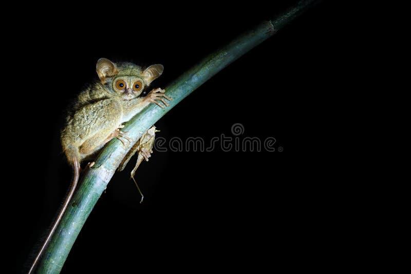 Tarsier spectral, spectre de Tarsius, portrait du mammifère nocturne endémique rare mangeant la sauterelle, petit primat mignon d photographie stock