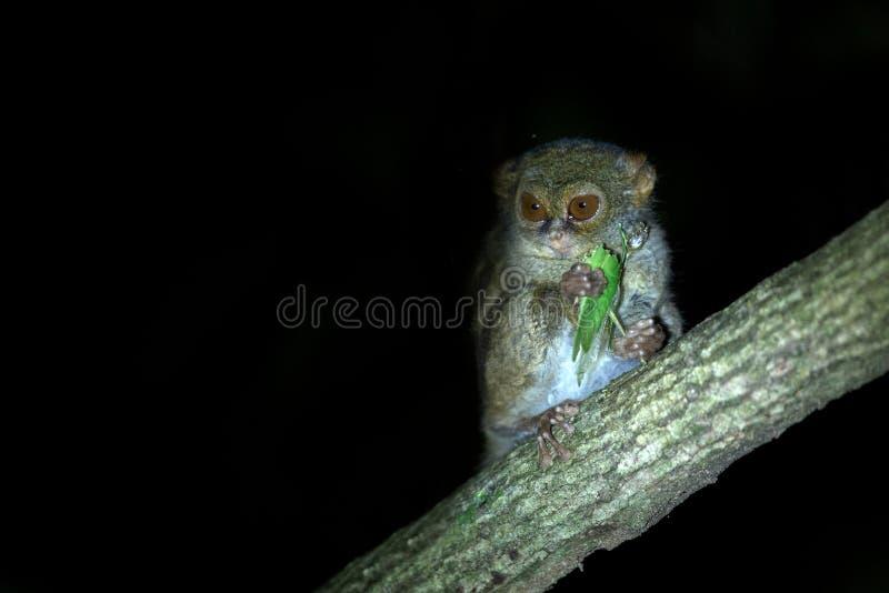 Tarsier spectral, spectre de Tarsius, portrait du mammif?re nocturne end?mique rare mangeant la sauterelle, petit primat mignon d photos stock