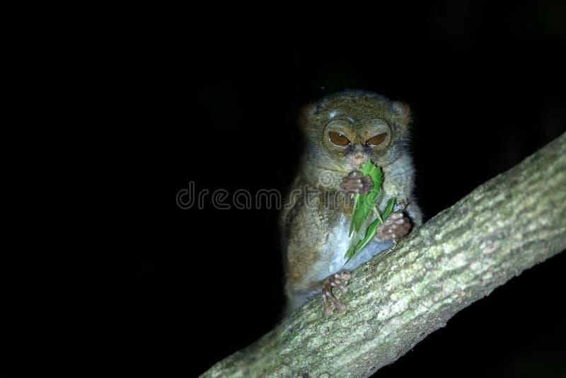 Tarsier spectral, spectre de Tarsius, portrait du mammif?re nocturne end?mique rare mangeant la sauterelle, petit primat mignon d photographie stock