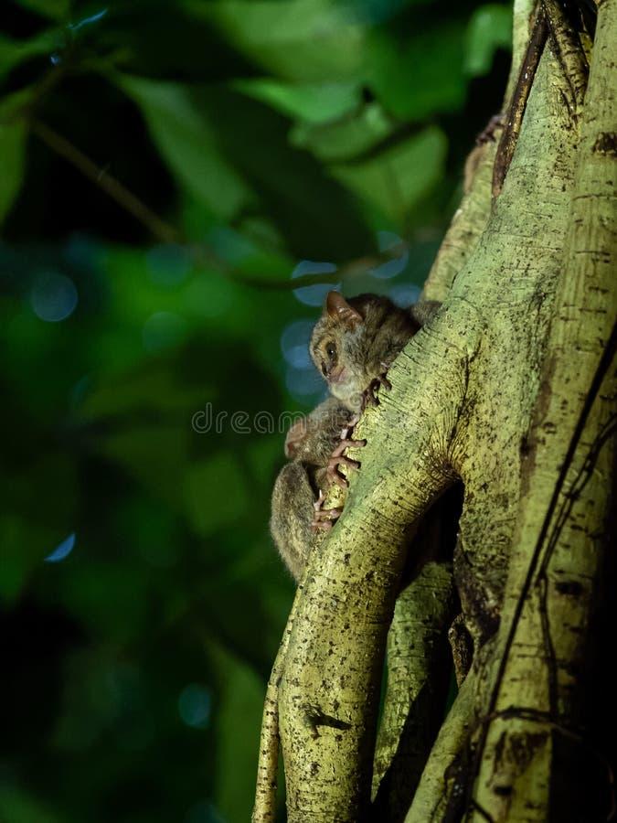 Tarsier spectral, spectre de Tarsius, Tangkoko images libres de droits