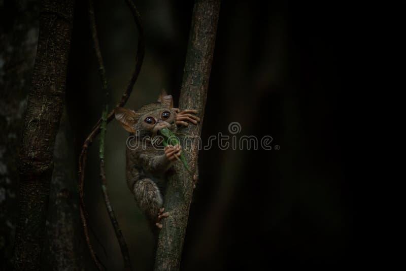 Tarsier spectral, Tarsius, portrait du mammifère nocturne endémique rare essayant d'attraper et manger la sauterelle, primat mign photos libres de droits