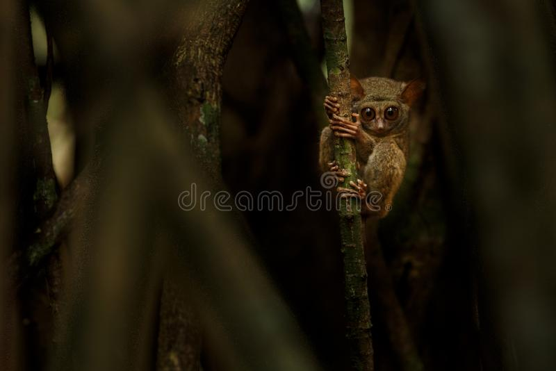 Tarsier spectral, Tarsius, portrait du mammif?re nocturne end?mique rare essayant d'attraper et manger la sauterelle, primat mign photographie stock libre de droits