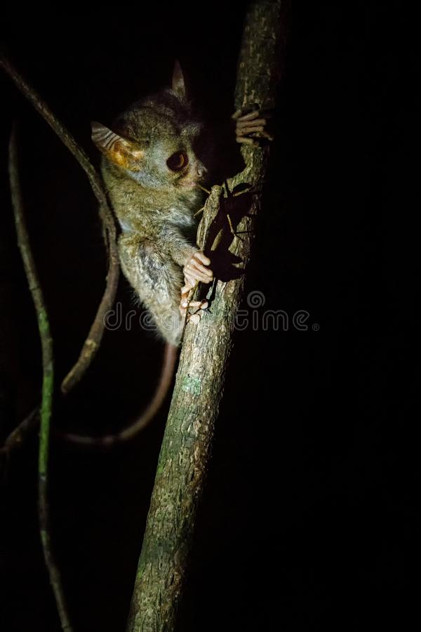 Tarsier spectral, Tarsius, portrait du mammif?re nocturne end?mique rare essayant d'attraper et manger la sauterelle, primat mign photo stock