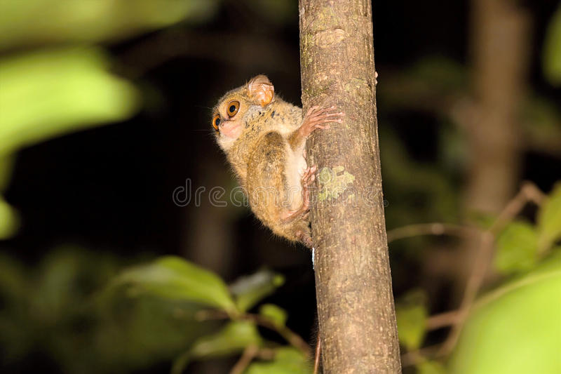 Tarsier spectral très rare, spectre de Tarsius, parc national de Tangkoko, Sulawesi, Indonésie image stock