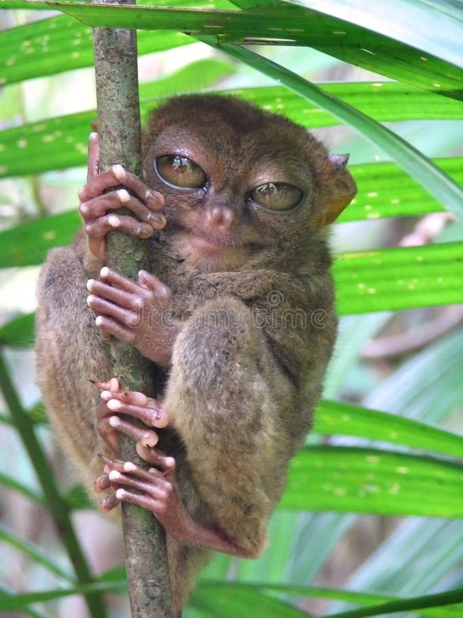 Tarsier - Tarsius Syrichta. Tarsier (Tarsius Syrichta), worlds smallest primate in the wild, NOT in a zoo. Model for Spielberg's E.T. and Yoda; Tarsier Breeding royalty free stock photography