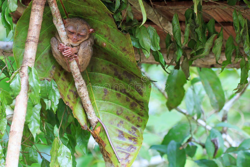Tarsier a Tarsius Syrichta di Cebu, Filippine fotografia stock libera da diritti