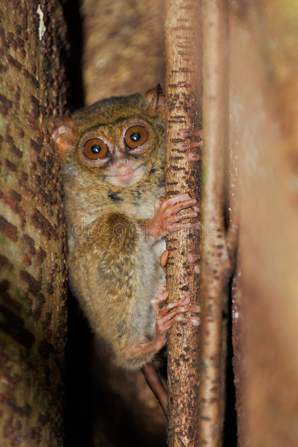 Free Tarsier, The Smallest Primate, Tangkoko, Sulawesi, Indonesia Royalty Free Stock Images - 29894189