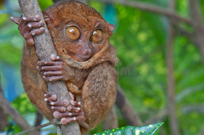 Tarsier on a tree. Tarsier with eyes wide open royalty free stock image
