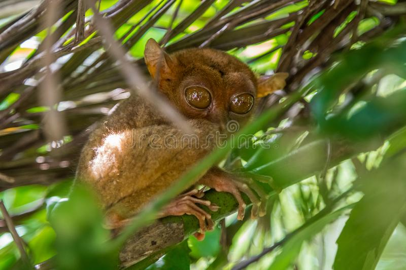 Tarsier in a tree at Bohol Tarsier sanctuary, Philippines stock photos
