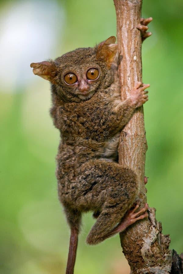 Tarsius坐一棵树在密林 特写镜头 印度尼西亚 苏拉威西岛海岛 图库摄影