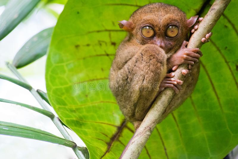 Tarsius 保和岛 菲律宾 免版税图库摄影