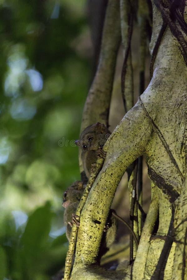 Tarsius deux sur un arbre en parc national de Tangkoko photographie stock