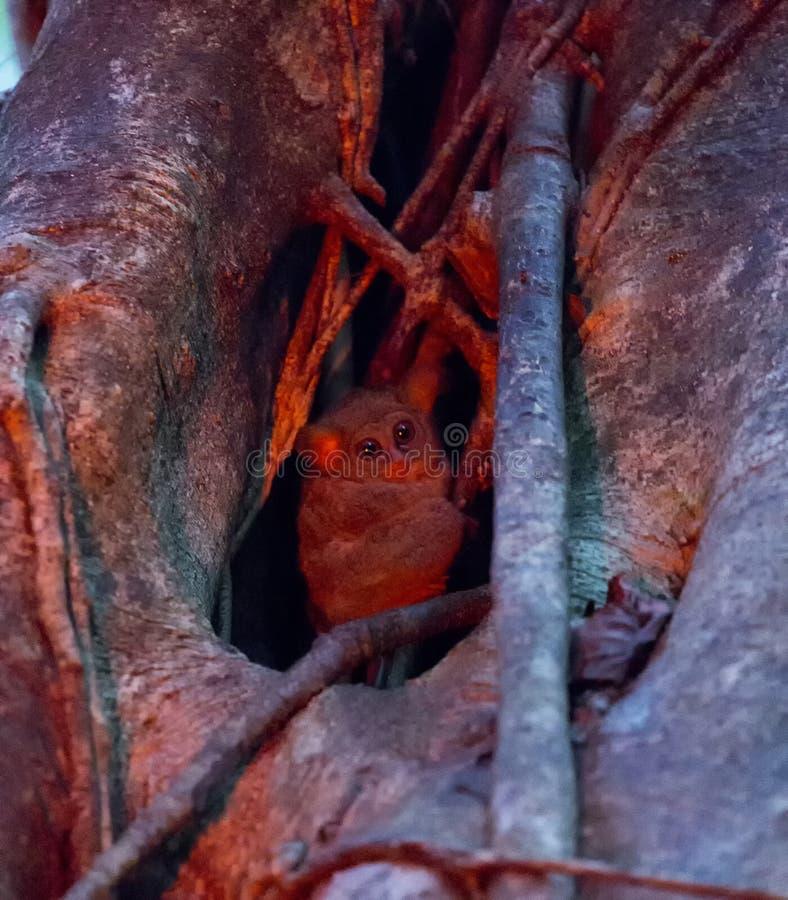 Tarsius sur un arbre photo libre de droits
