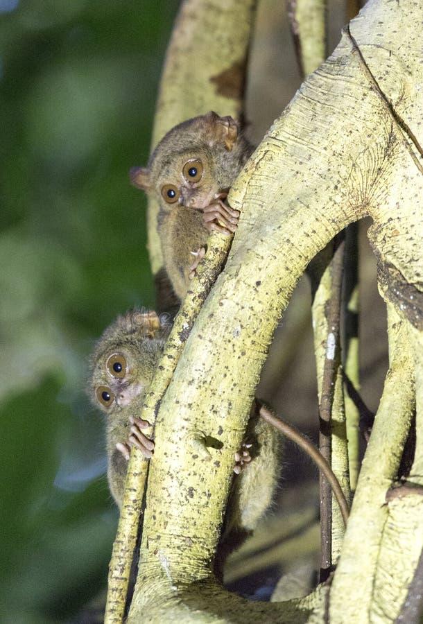 Tarsius två på ett träd royaltyfria foton