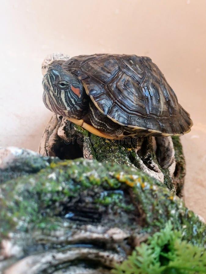 Tartaruga fotografie stock libere da diritti