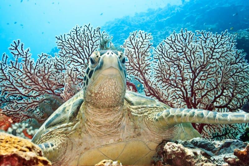 Download Tartaruga foto de stock. Imagem de undersea, coral, extremo - 12801624