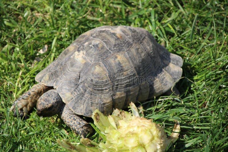 Tartaruga royalty-vrije stock afbeelding