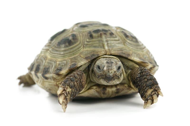 Tartaruga imagens de stock royalty free