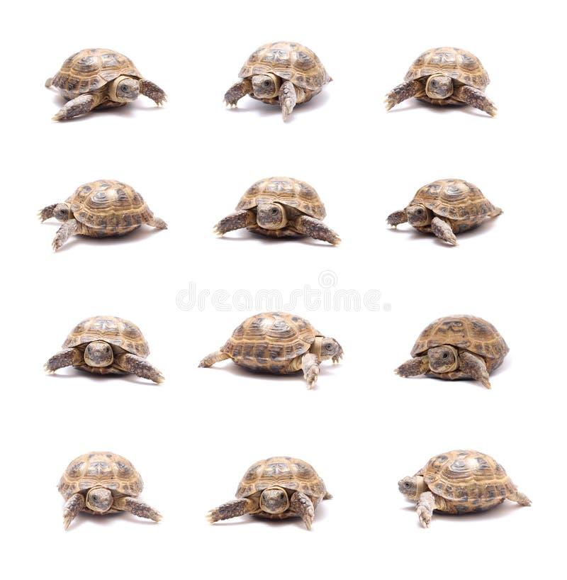 Tartaruga immagini stock