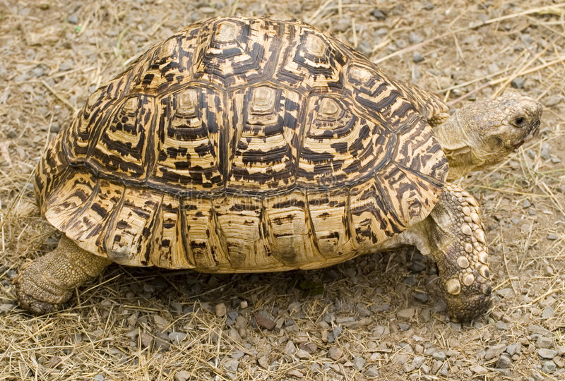 Tartaruga imagens de stock